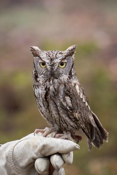 western owl